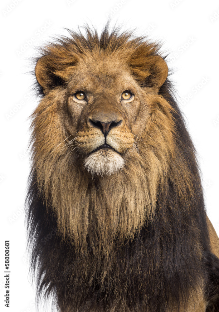 Fototapeta Close-up of a Lion looking up, Panthera Leo, 10 years old