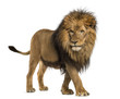 Side view of a Lion walking, Panthera Leo, 10 years old