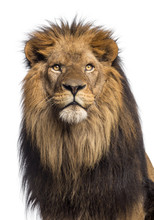Close-up Of A Lion Looking Up, Panthera Leo, 10 Years Old