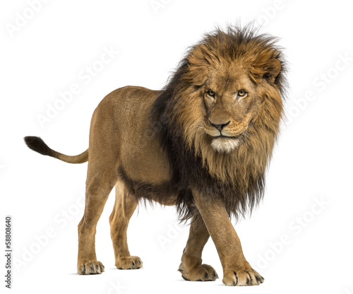 Foto Side view of a Lion walking, Panthera Leo, 10 years old