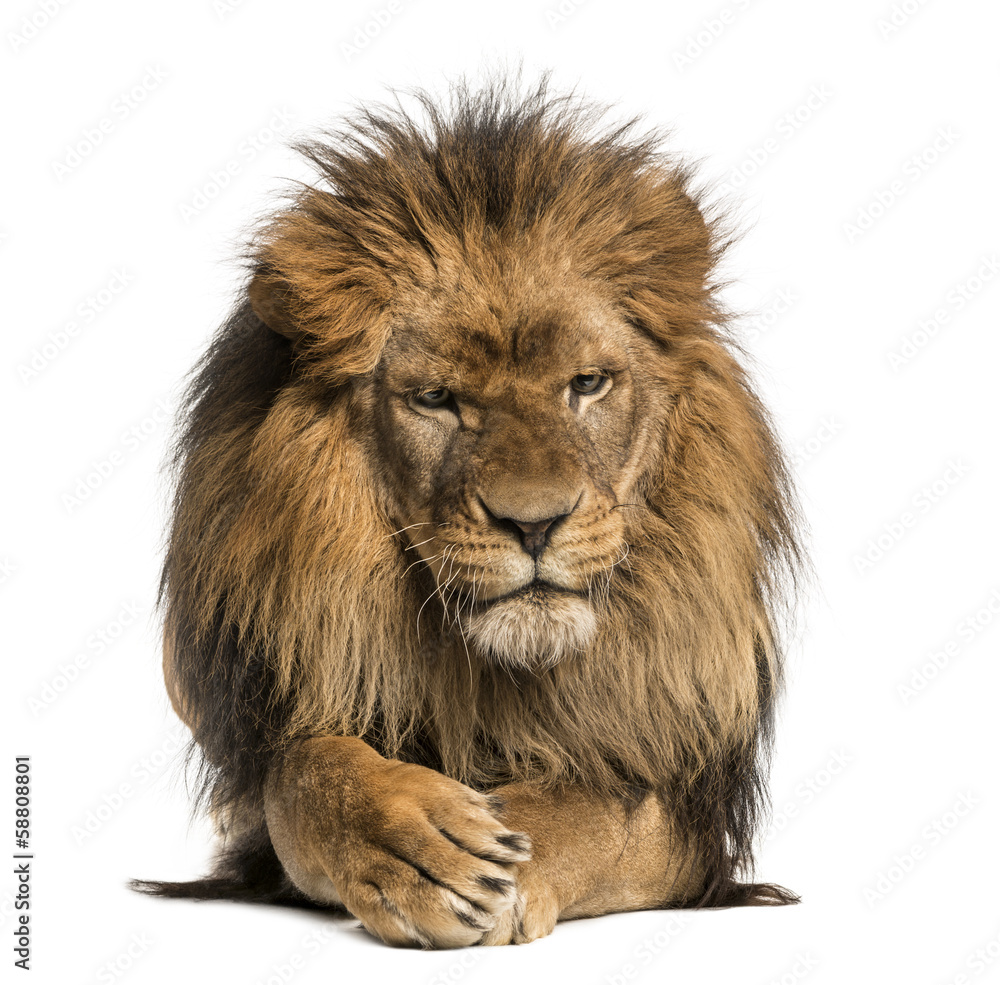 Fototapeta Front view of a Lion lying, crossing paws, Panthera Leo