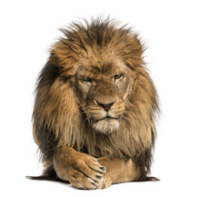 Front View Of A Lion Lying, Crossing Paws, Panthera Leo