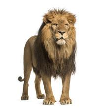 Lion Standing, Panthera Leo, 1...