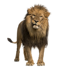 Lion standing, looking at the camera, Panthera Leo, 10 years old
