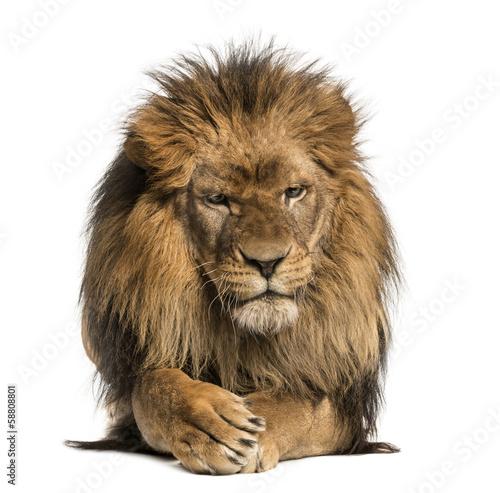 Foto op Plexiglas Leeuw Front view of a Lion lying, crossing paws, Panthera Leo