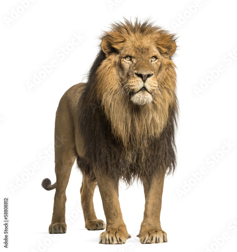 Staande foto Leeuw Lion standing, Panthera Leo, 10 years old, isolated on white