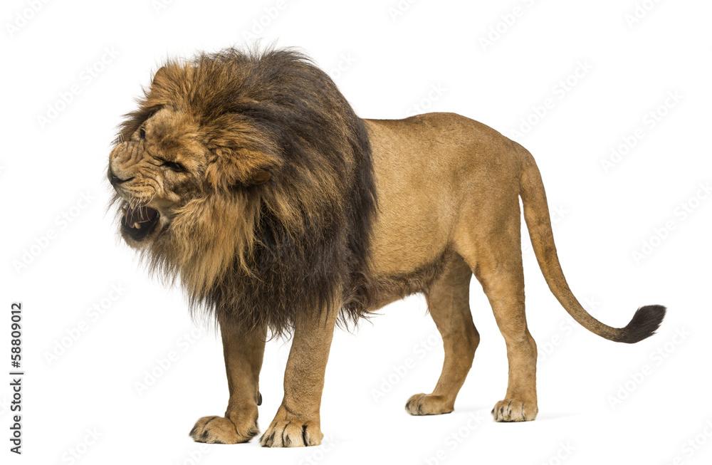 Fototapeta Lion standing, roaring, Panthera Leo, 10 years old, isolated