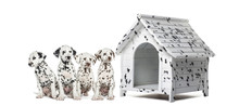 Pack Of Dalmatian Puppies Sitting In A Row Next To A Kennel