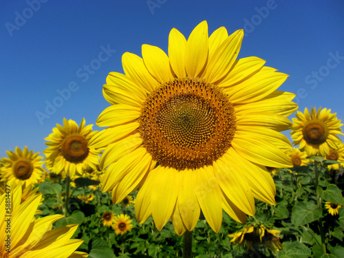 Photo sur Aluminium Tournesol Sunflower with clear blue sky