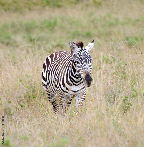 Foto op Plexiglas Zebra zebra running on the african grasslands