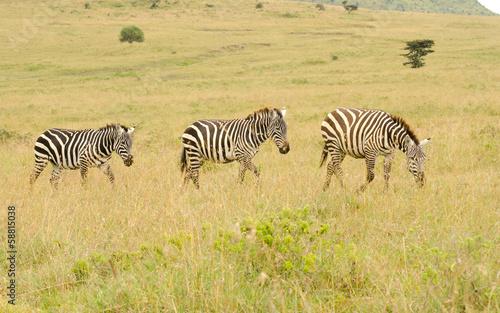 Fotobehang Ree tiro of zebras walking in kenya