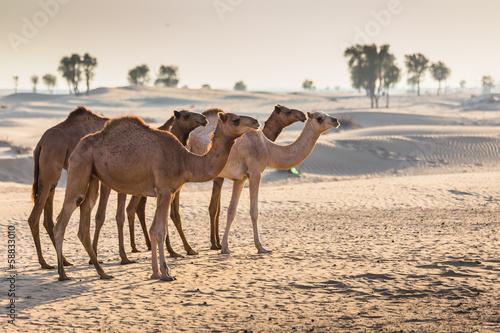Desert landscape with camel