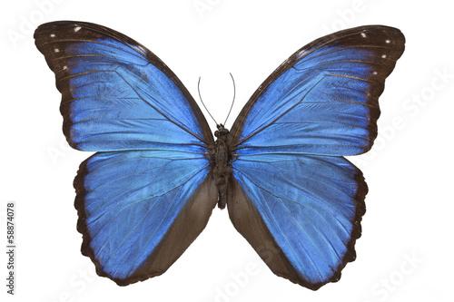Fotografie, Obraz  Morpho menelaus butterfly
