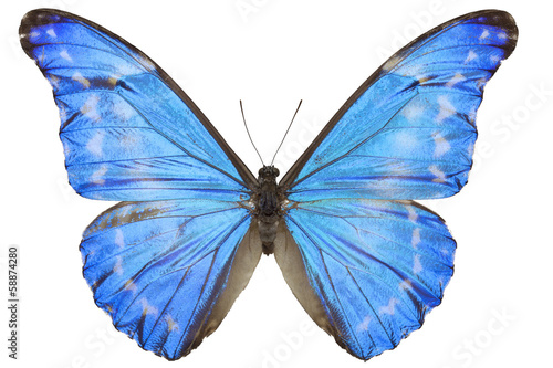 Morpho diana augustinae butterfly Canvas-taulu