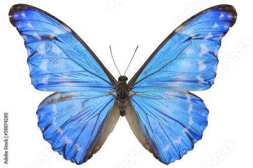Fotografie, Obraz  Morpho diana augustinae butterfly