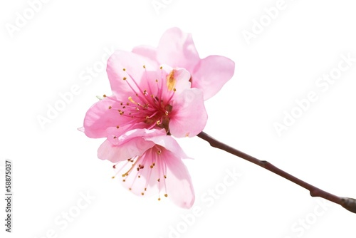 Almond pink flowers Poster