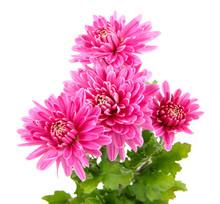Pink Autumn Chrysanthemum Isolated On White