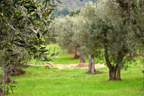 Stampa su Tela Olive trees
