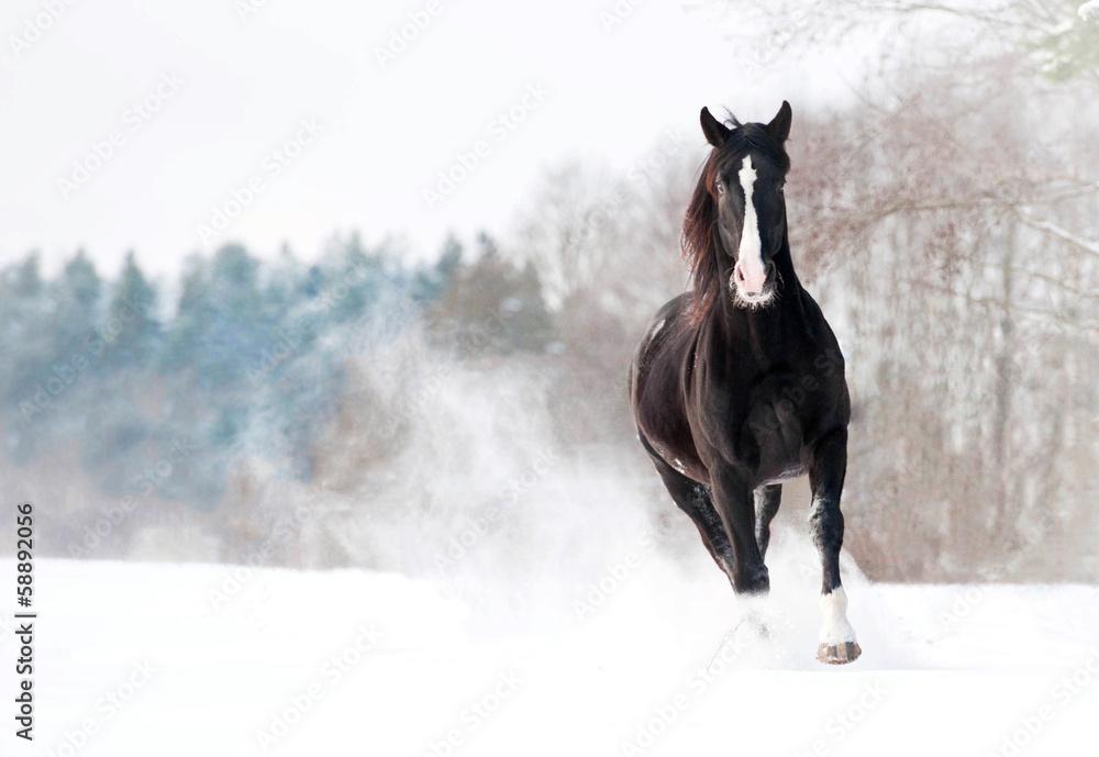 Fototapety, obrazy: Beautiful black stallion running in winter
