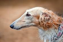 Borzoi Dog Portrait On Dry Grass Background