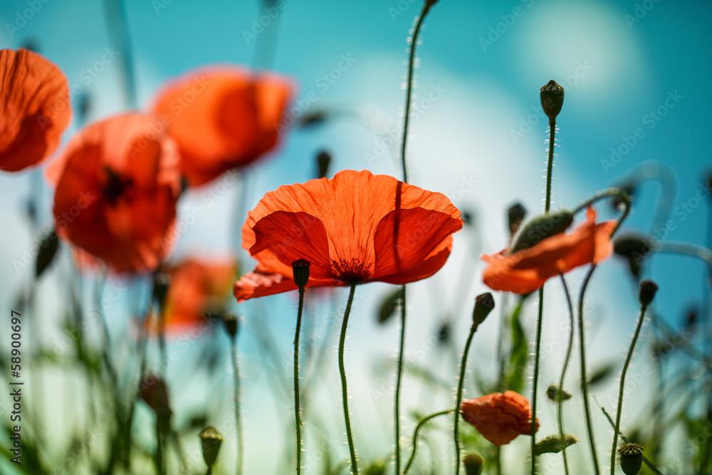 Fototapeta Mohnblumen auf Sommerwiese