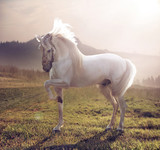 Fototapeta Konie - Picture of majestic white horse