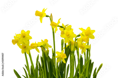 In de dag Narcis Yellow daffodils isolated on white