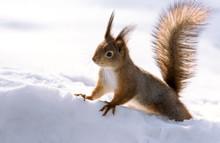 Red Squirrel In Winter