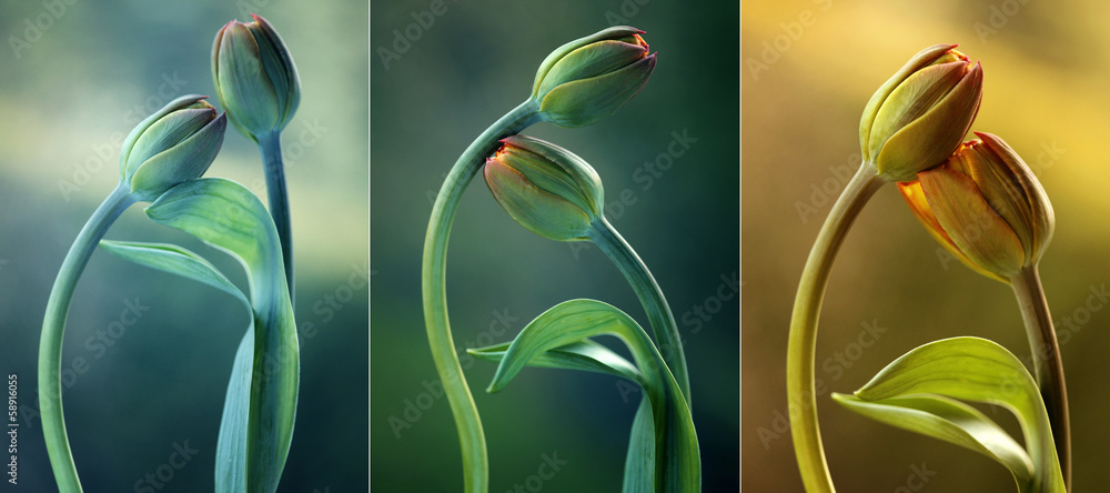 Fototapety, obrazy: Tulipany