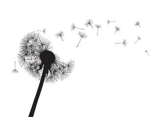 Fototapeta black dandelion loosing his integrity on wind