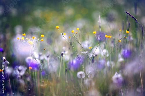 Fototapeta wildflowers, spring, summer, sunset field obraz
