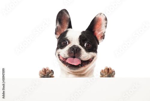 Spoed Foto op Canvas Franse bulldog Französische Bulldogge
