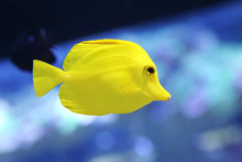 Yellow Tang Fish Or Zebrasoma ...