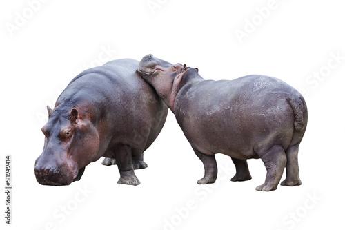 Hippopotamus couple