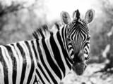 Fototapeta Zebra - Zebra portrait in black and white