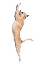 Pale Yellow Chihuahua Dog Ramps Begging Something, Isolated