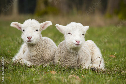 Photo sur Aluminium Sheep Two adorable young lambs relaxing in grass field