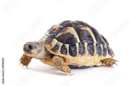 Fotografie, Obraz  Tortoise