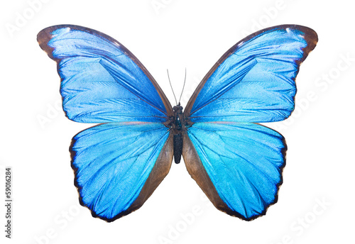 Fotografie, Obraz  Butterfly Morpho Didius