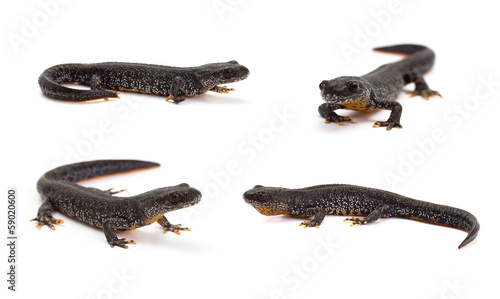 Fotografie, Obraz Photo set of great crested newt in isolated on white