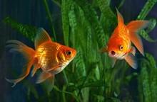 Goldfish, Aquarium, A Fish On ...