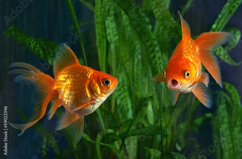 Fotografie, Obraz  Goldfish, aquarium, a fish on the background of aquatic plants
