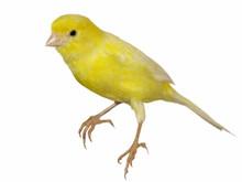 Yellow Canary Serinus Canaria ...