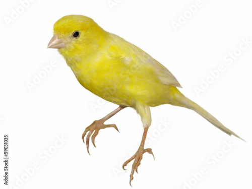 Yellow canary Serinus canaria isolated on white background Fototapeta