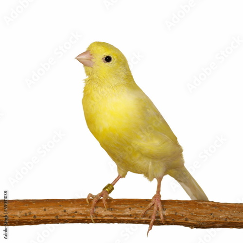 Fotografia  Yellow canary Serinus canaria isolated on white background