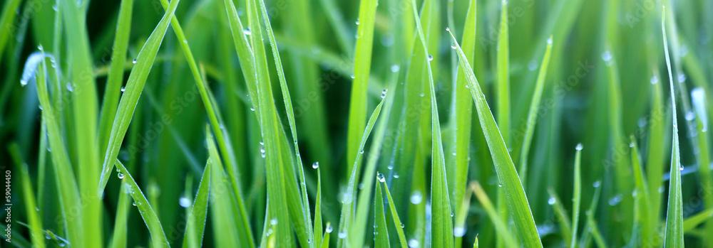 Fototapeta Green grass with morning dew