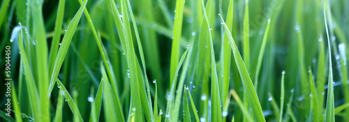 Poster Grass Green grass with morning dew
