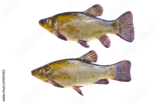 Vászonkép Two tench fish after fishing isolated on white background