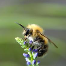 Shaggy Bumblebee On A Flower