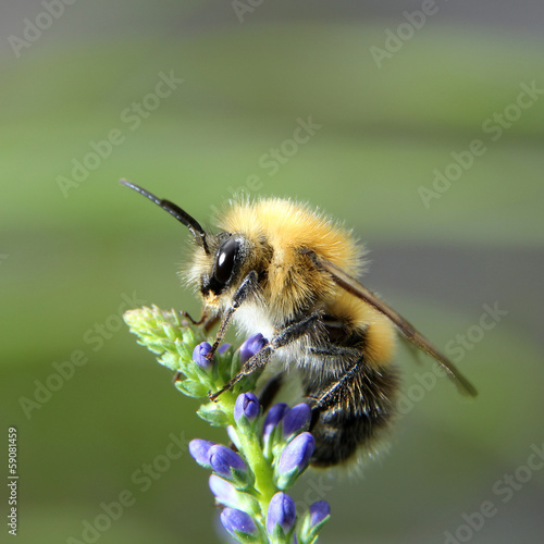 Shaggy bumblebee on a flower Fototapeta